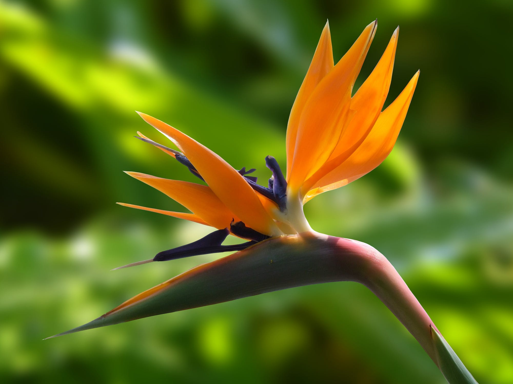 The Strelitzia Flower